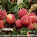 Алтайское румяное