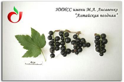 АлтайскаяПоздняя1